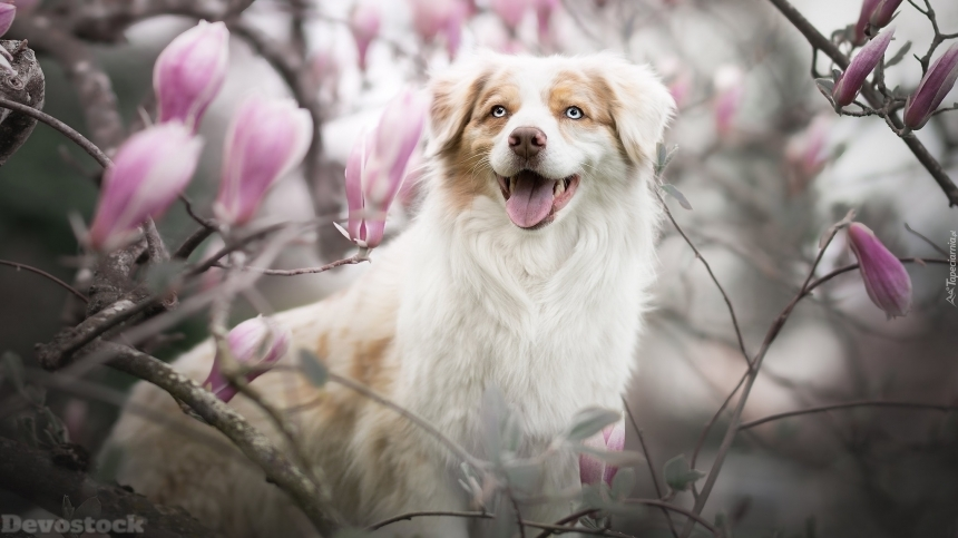 Devostock Animal Australian Shepherd Dog Magnolia Flowers 4k