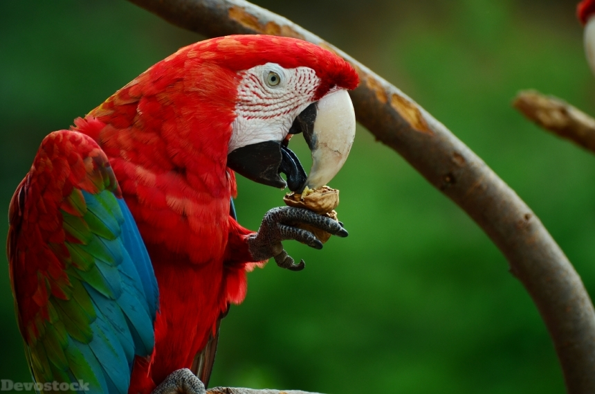 Devostock Animal Bird Green Winged Macaw Eating Nuts 4k