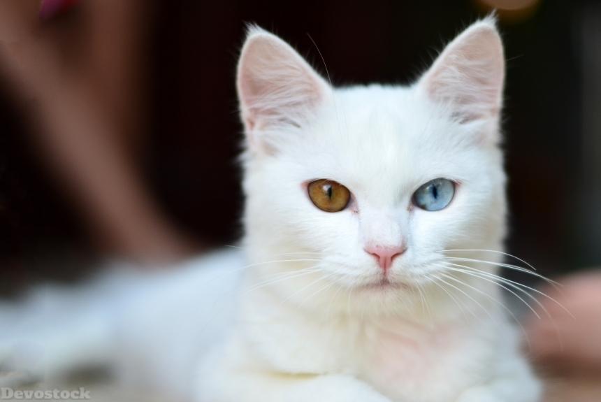 Devostock Animal Rare White Cat Kitten Eyes Different Color