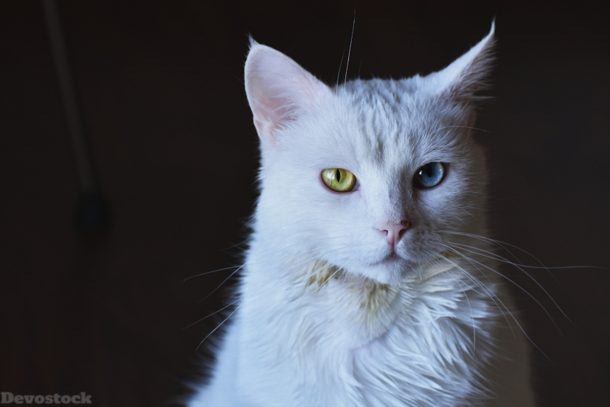 Devostock Animal White Cat Photography Beautiful Eyes 4k