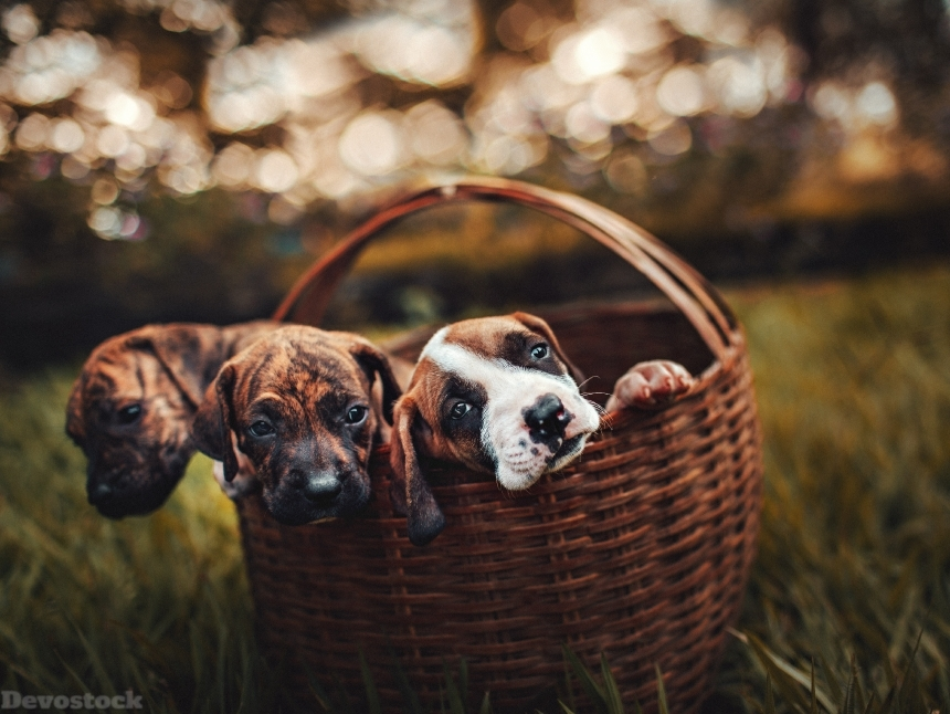 Devostock Animals Basket Blurred Background Little Dogs 4k