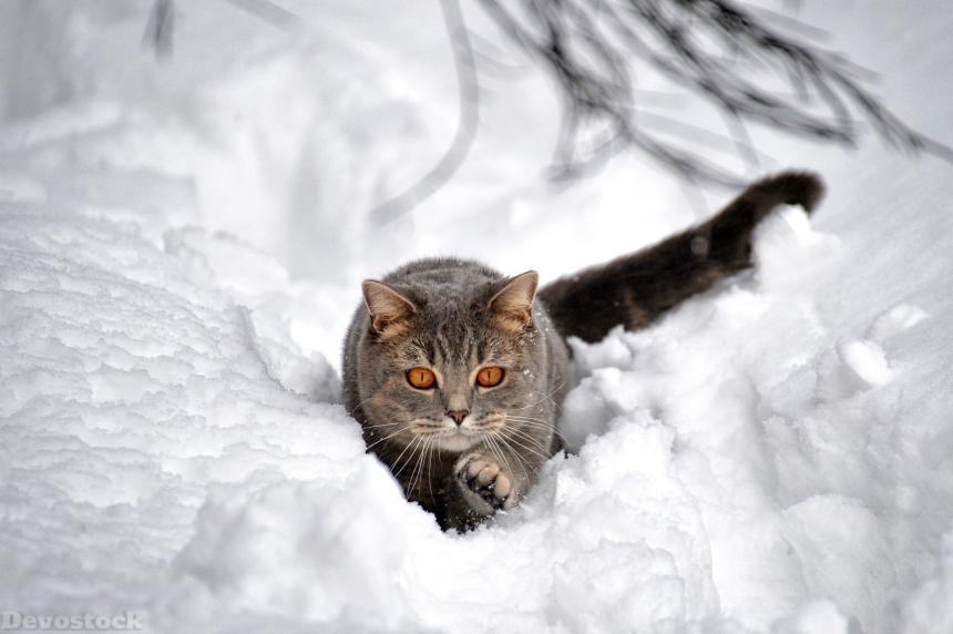 Devostock Cats Snow Grey Animal Orange Eyes 4k
