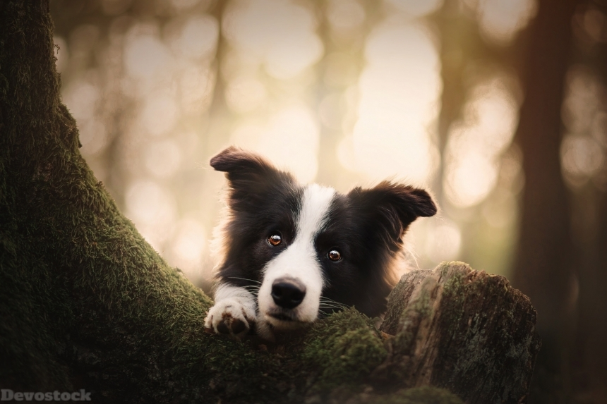 Devostock Dogs Glance Border Collie Animal Tree Nature Outdoor 4k