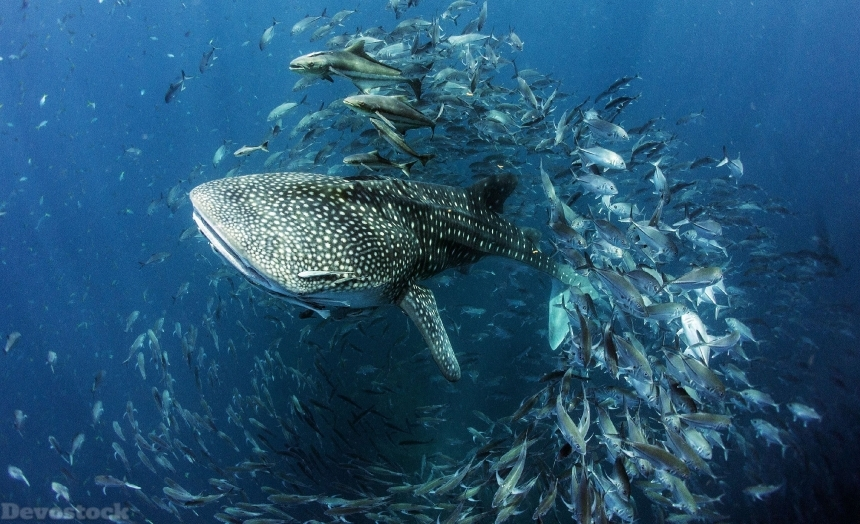 Devostock Sharks Fish Underwater world Whale shark Animal 4k