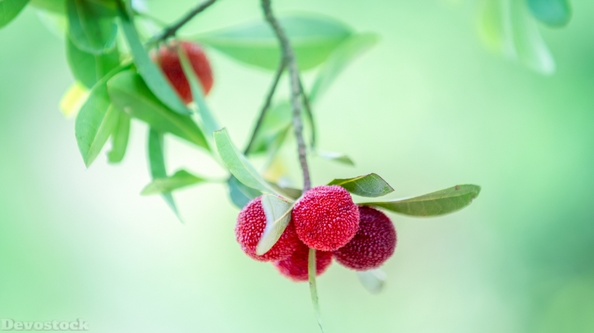 Sweet and sour fruit bayberry  (2)